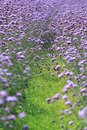 Lavender this is a large blooming picture Royalty Free Stock Photography