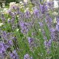 Lavender lavandula angustifolia beautiful purple bush on a background of pale pink hydrangea roses Stock Photo