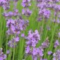 Lavender lavandula angustifolia beautiful purple lavenders with bright green Stock Photos