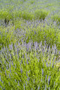 The lavender (Lavandula) field texture Royalty Free Stock Photography