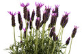 Lavender (Lavendula angustifolia) Royalty Free Stock Photo