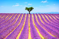 Lavender and lonely tree uphill provence france flowers blooming field a valensole europe Stock Image
