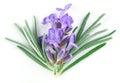 Lavender Macro. Isolated