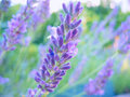 Lavender macro shot of a beautiful blossom Royalty Free Stock Image