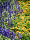 Lavender and marigold flowers blooming in the gardenin the garden Royalty Free Stock Photo