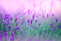 Lavender in my garden beautiful Royalty Free Stock Photos