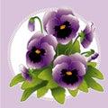 Lavender pansies 库存照片