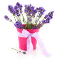 Lavender in pink bucket Royalty Free Stock Photos