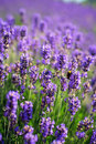 Lavender plantation Royalty Free Stock Photo