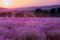 Lavender plantation at sunset. Royalty Free Stock Photo