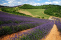 Lavender the plateau of valensole in provence field Royalty Free Stock Photos