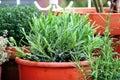 Lavender In The Pot