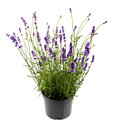 Lavender In Pot Isolated On Wh...