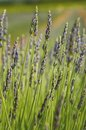 Lavender in the provence france lavandula common name is a genus of species of flowering plants in the mint family Stock Photos