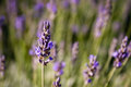 Lavender purple field with one flower in focus Royalty Free Stock Photo