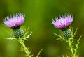 stock image of  Lavender Purple Thistle Blossoms