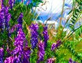Lavender purple wild plants on green grass. Nature wildflowers outdoors meadow background. Blooming flowers meadow flora blue sky. Royalty Free Stock Photo