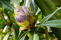 Lavender Rhododendron Flower Buds Royalty Free Stock Photo