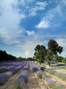 Lavender at Salagon Royalty Free Stock Images