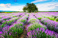 Lavender scent amazing landscape with field and a tree Stock Images