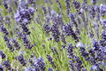 Lavender spike with opened and unopened flowers in purple and green Royalty Free Stock Photo