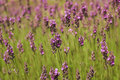 Lavender sprigs on the green Stock Photos