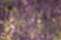 Lavender Spring Nature Bokeh Royalty Free Stock Images