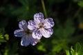 Lavender Sticky Geranium Royalty Free Stock Photo