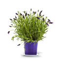 Lavender Stoechas Plant In Pur...