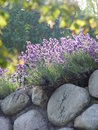Lavender on stone wall  Royalty Free Stock Photos