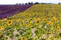 Lavender and sunflower field Royalty Free Stock Photo