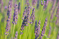 Lavender in the sunlight with selective focus Royalty Free Stock Photography