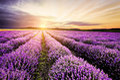 Lavender Sunrise Royalty Free Stock Photo