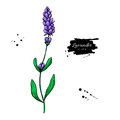 Lavender vector drawing set. Isolated wild flower and leaves. Herbal engraved style illustration. Royalty Free Stock Photo