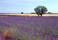 Lavender and wheat Stock Photography