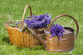Lavender in a wicker basket and watering can freshly picked an old copper Stock Photography