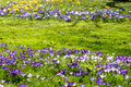 Lawn with colorful Crocus bloom in spring Royalty Free Stock Photo