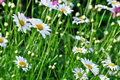 Lawn with daisies beautiful on a sunny summer Stock Photos