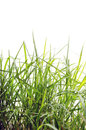 Lawn grass in the foreground isolated on white background Stock Image