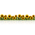 Lawn with sunflower and grass with reflection Royalty Free Stock Photo