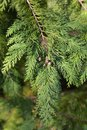 Lawson cypress Kelleris Gold
