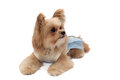 Lay down dog mixed breed in blue dress isolated in white background with clipping path Royalty Free Stock Photo