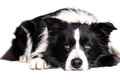 Laying border collie