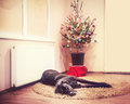 Laying dog at the christmas tree in chamber with Royalty Free Stock Photos
