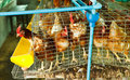 Laying hen in the cage Stock Photo