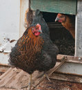 Laying hens exit horse trailers Stock Image
