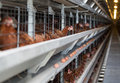 Laying hens on a poultry factory brown chicken modern Royalty Free Stock Images