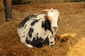 Laying south african indigenous veld goat close up picture of a down Stock Photo