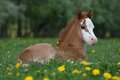 Laying welsh pony foal nice Royalty Free Stock Image