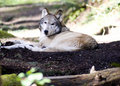 Laying Wolf Stock Images